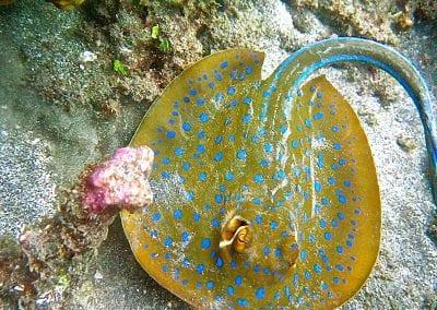 снорклинг на Бали, Амед, скат-хвостокол