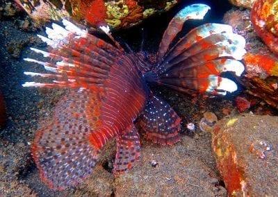 снорклинг на Бали, Туламбен, крылатка