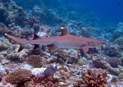 рифовая акула, Снорклинг-круиз Комодо (Лабуан Баджо) - Ломбок