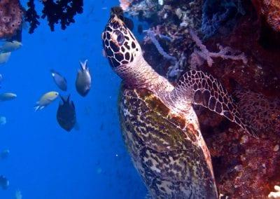 Морская зеленая черепаха, Амбон, снорклинг