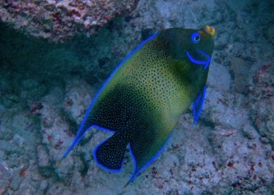 Хэвлок, Андаманские острова, снорклинг, рыба-ангел