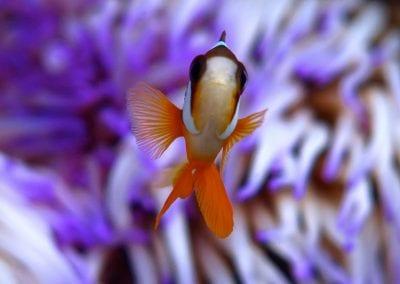 рыба-клоун, острова Банда, снорклинг