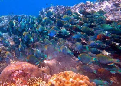 рыба-попугай, острова Банда, снорклинг