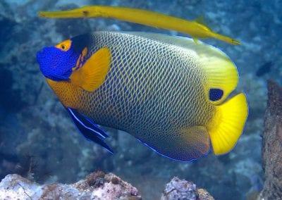 рыба-ангел, острова Банда, снорклинг