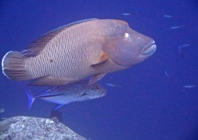 рыба-наполеон, острова Банда, снорклинг