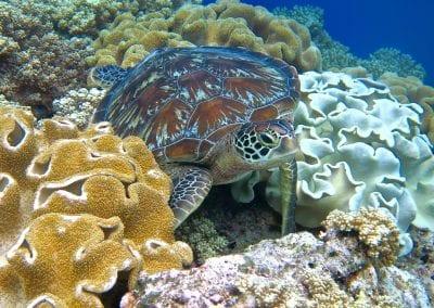 зеленая морская черепаха, острова Банда, снорклинг