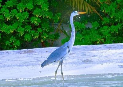 цапля, Бодуфолуду (Bodufolhudhoo), Мальдивы