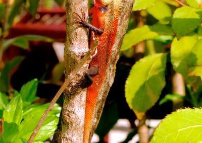 красная игуана, Бодуфолуду (Bodufolhudhoo), Мальдивы