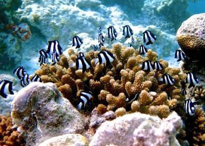 Двухцветный хромис, снорклинг на Бодуфолуду (Bodufolhudhoo), Мальдивы