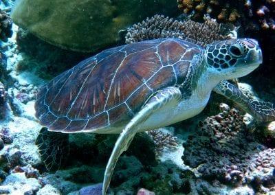 Морская зеленая черепаха, снорклинг на Бодуфолуду (Bodufolhudhoo), Мальдивы