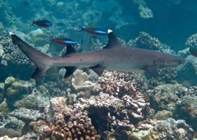 Белоперая рифовая акула, снорклинг на Бодуфолуду (Bodufolhudhoo), Мальдивы