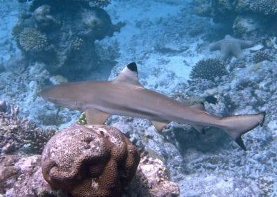 Черноперая рифовая акула, снорклинг на Бодуфолуду (Bodufolhudhoo), Мальдивы