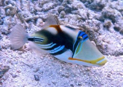 Рыба-пикассо, снорклинг на Бодуфолуду (Bodufolhudhoo), Мальдивы