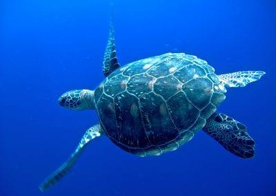 морская зеленая черепаха, Бунакен, снорклинг