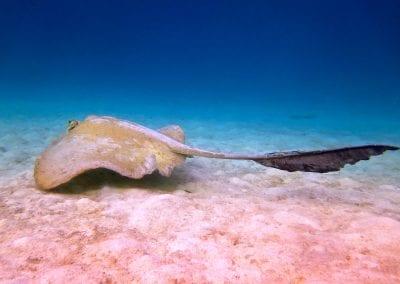 гребнехвостый скат, снорклинг на острове Дигура (Dhigurah), Мальдивы