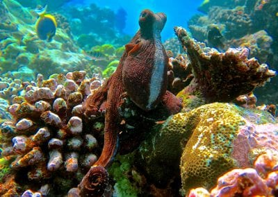 осьминог, снорклинг на острове Дигура (Dhigurah), Мальдивы