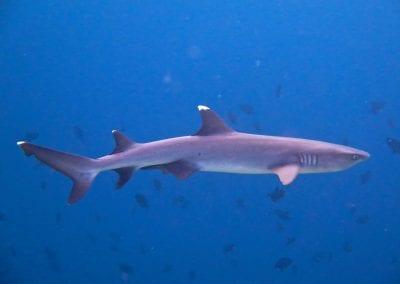 белоперая рифовая акула, снорклинг на острове Дигура (Dhigurah), Мальдивы