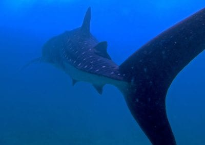 китовая акула, снорклинг на острове Дигура (Dhigurah), Мальдивы