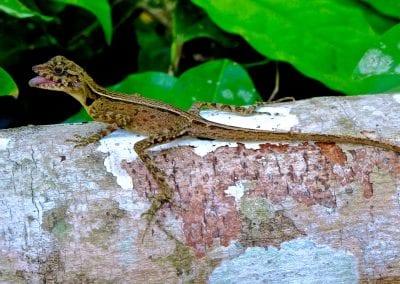 ящерица, Хэвлок, Андаманские остров