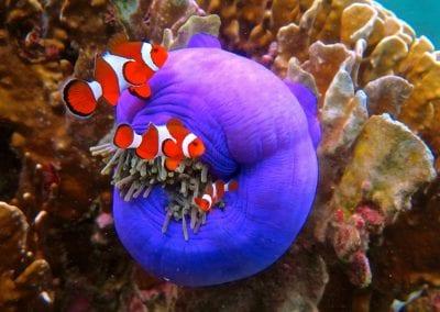 рыба-клоун, снорклинг на Нуса Лембоган