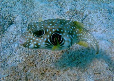 Колючий аротрон, снорклинг на Тогеанских островах