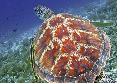 Острова Гили, снорклинг, зеленая морская черепаха
